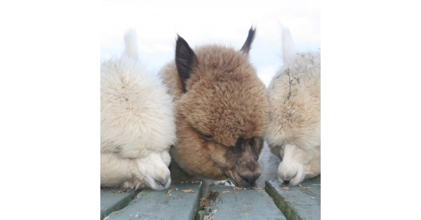 Irwins Premier Alpaca Feed